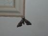 Mothra.