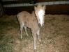 New miniature horse!