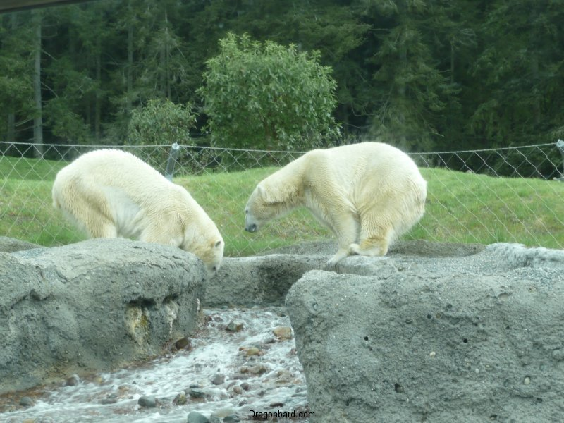 Playing polar bears at the zoo.