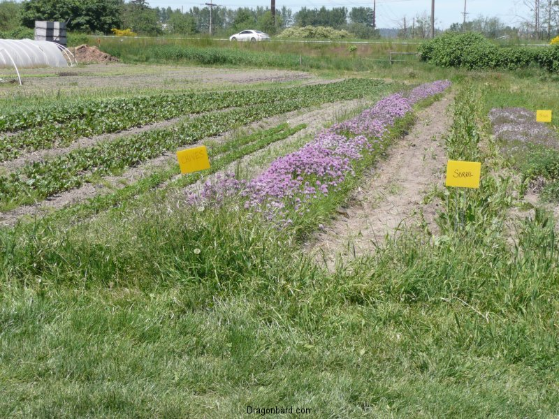 Field of herbs at Terry\'s Berries.