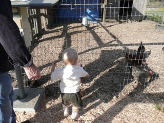 Lilibee feeds the chickens.