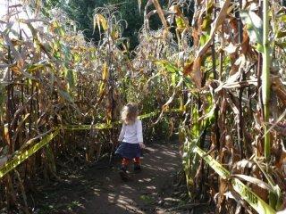 Into the corn maze...