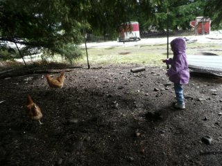 Chasing chickens.